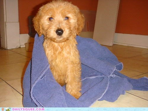 baby dogs goldendoodle namesake penny puppy reader squees the big bang theory - 5691625728