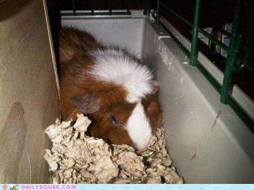 food guinea pig noms reader squees sleeping tired - 5692675584