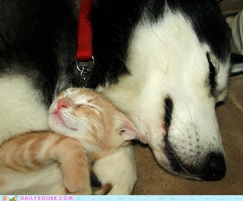 asleep cat cuddle cuddling dogs Interspecies Love reader squees sleeping - 5694741248