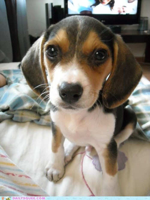 baby beagle irresistible puppy reader squees - 5695631104