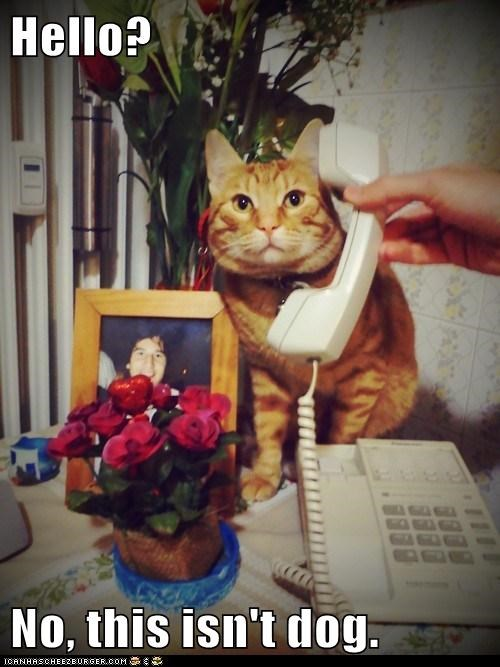 answering call caption captioned cat dogs hello no not phone tabby - 5696427520