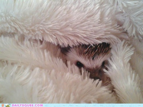 11 baby hedgehog hiding reader squees weeks - 5696584960