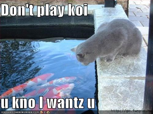 fish koi lolcats - 569743104
