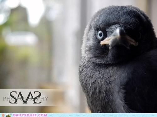 baby,chick,cliché,closeup,nevermore,raven,squee spree