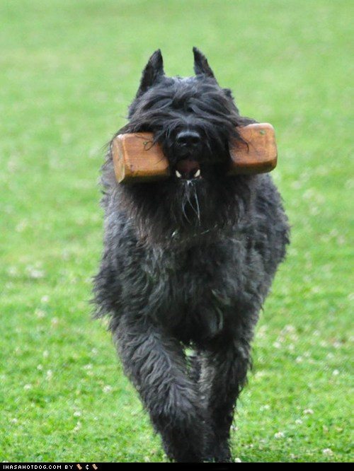 agility,Bouvier des Flandres,goggie ob teh week,run,running,toy
