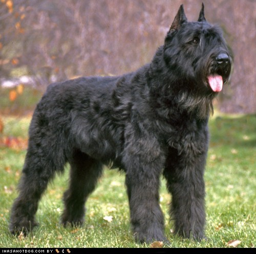 Bouvier des Flandres goggie ob teh week happy dog outdoors tongue tongue out