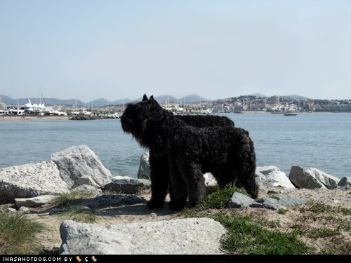 Bouvier des Flandres coast coast guards goggie ob teh week harbor water