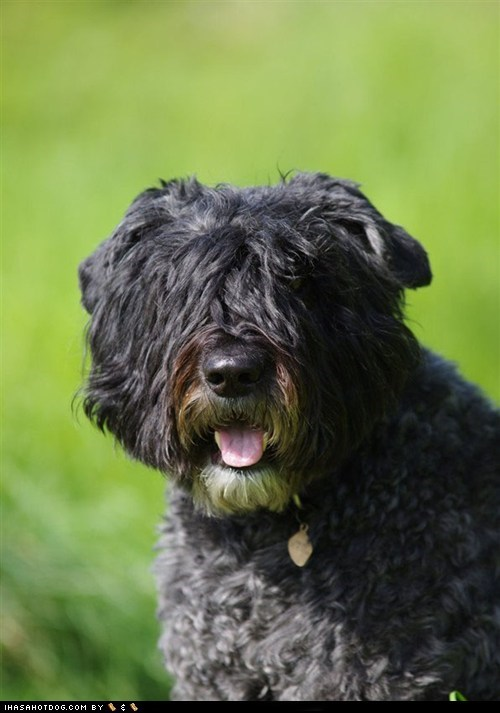 Bouvier des Flandres goggie ob teh week happy happy dog tongue tongue out