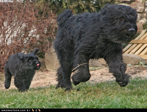 Bouvier des Flandres goggie ob teh week happy dog happy dogs having fun mom puppy run running - 5702122752