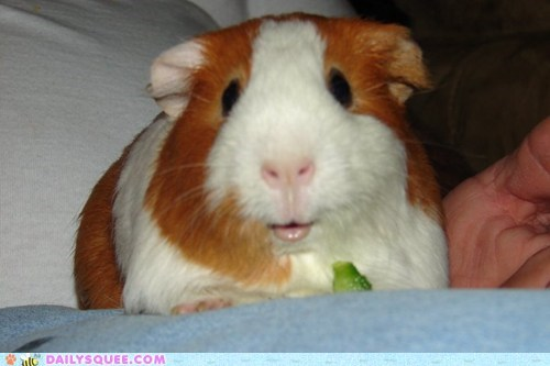 eating guinea pig lip nomming noms reader squees smiling - 5704083200