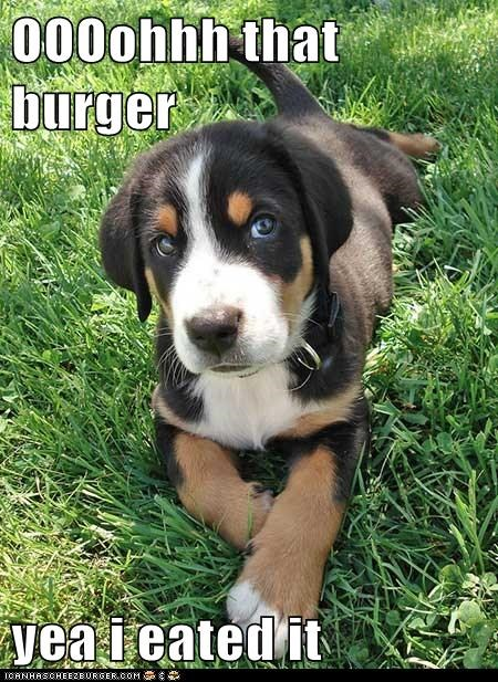 burger delicious eat food greater swiss mountain dog noms puppy - 5706369024
