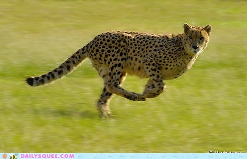 acting like animals aloof cheetah expression face indifferent sprinting
