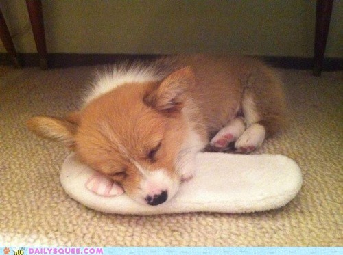 asleep baby chewed corgi exhausted Hall of Fame puppy sleeping slipper - 5706967808