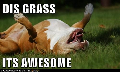 awesome grass happy happy dog pit bull pitbull tongue tongue out - 5707451136