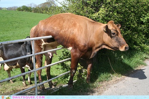 acting like animals,Awkward,cow,explanation,fence,Hall of Fame,lolwut,stuck