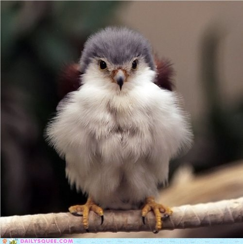 baby chick down falcon feathers floofy Fluffy fuzzy Hall of Fame poofy tiny