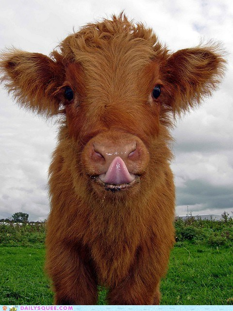 baby calf cow cowlick cutest double meaning Hall of Fame lick licking pun tongue - 5711657216