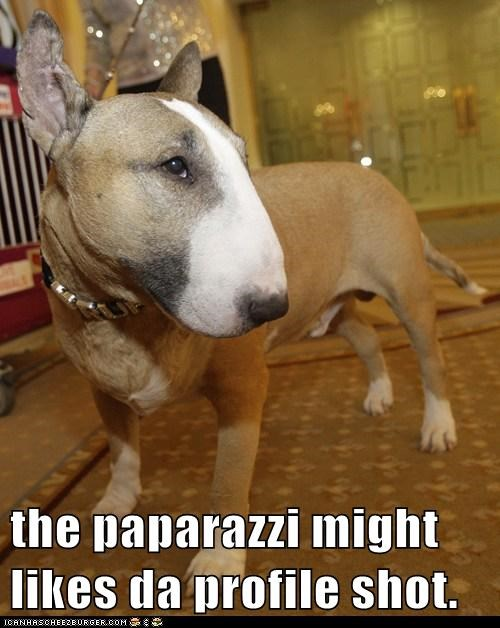 adorable bull terrier celeb good looking paparazzi Photo photography - 5712508672
