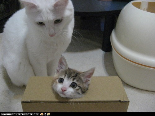 boxes,cardboard box,cyoot kitteh of teh day,magic,magic tricks,two cats