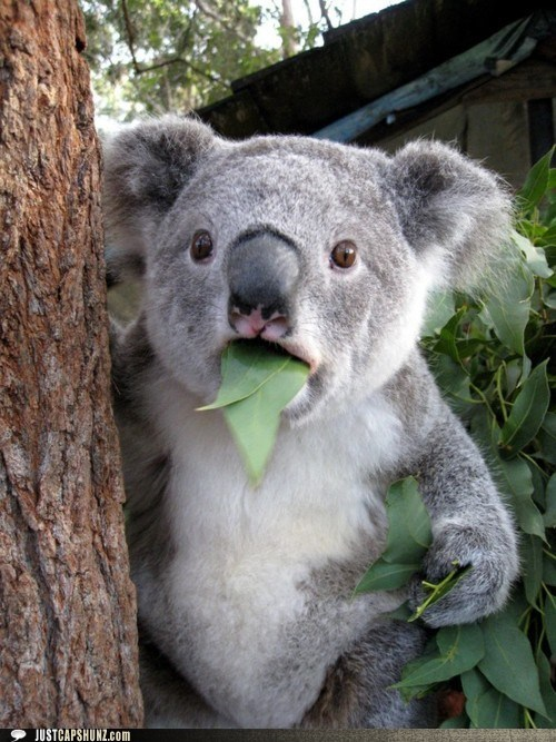 animals caption contest eating holy hell koala koala bear wtf wth - 5719028992