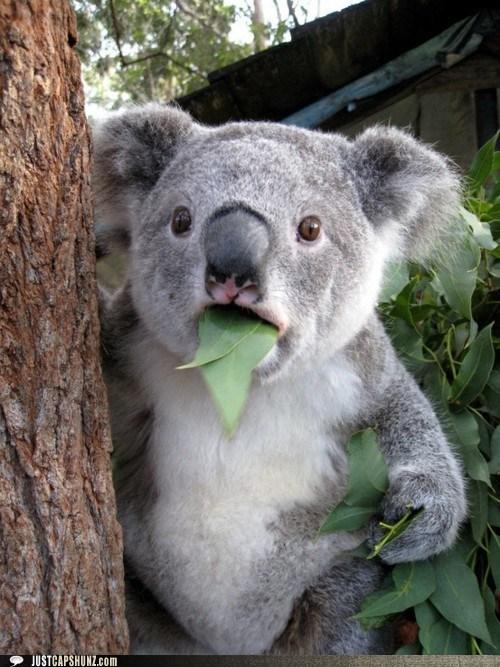 animals caption contest eating holy hell koala koala bear wtf wth - 5719028992
