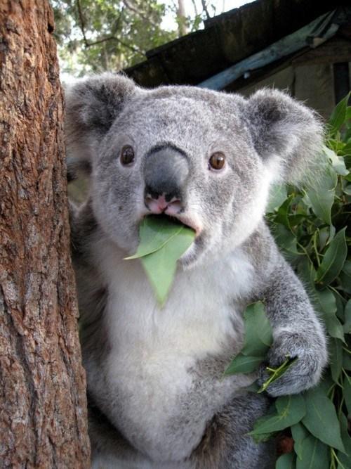 cant-believe-it-koala,what has been seen