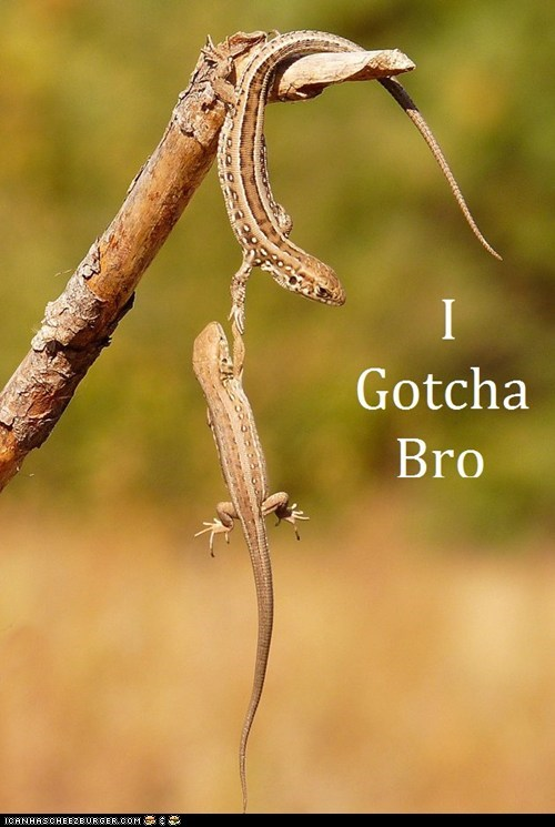 Even reptiles worship the Bro Code