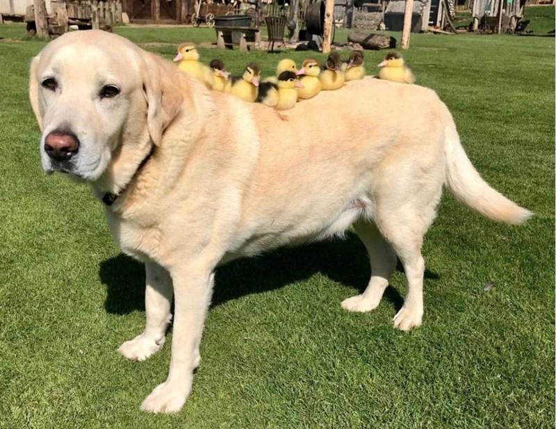 orphaned dogs labrador adoption ducks parenting - 5720325