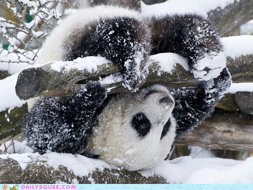 acting like animals cake consequence dessert disaster Hall of Fame lolwut panda panda bear result snow tree upside down - 5720762624