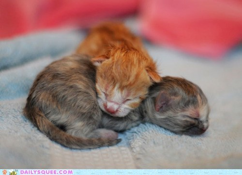 asleep Babies baby cat Cats cuddles cuddling Hall of Fame itty bitty kitten newborn sleeping tiny - 5720913152