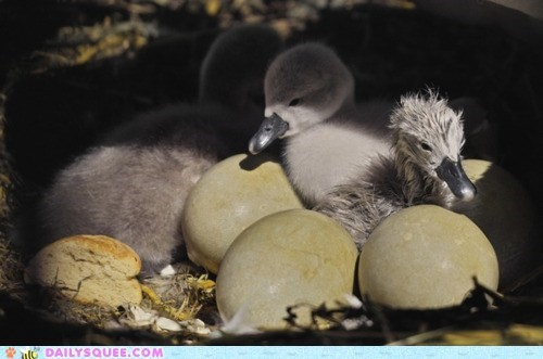Babies baby chick chicks cygnet cygnets eggs hatchlings nest newborn