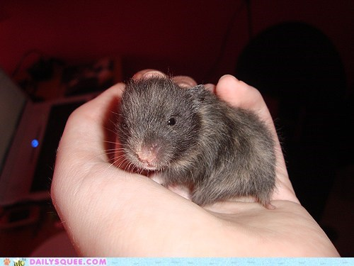 baby hamster hand handheld holding reader squees tiny - 5722455040