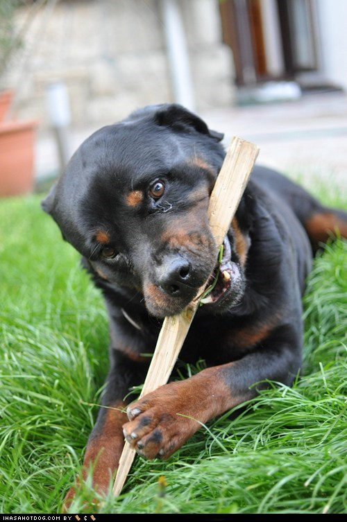 adorable chew chewing goggie ob teh week rottweiler wood - 5732908288