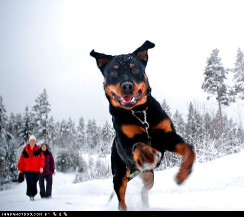 goggie ob teh week happy dog outdoors rottweiler snow - 5733055744