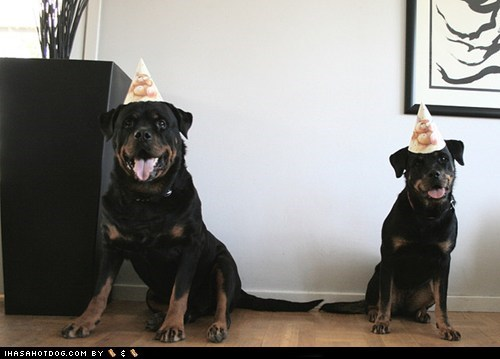 birthday friends goggie ob teh week Party party animal rottweiler rottweilers - 5733060352