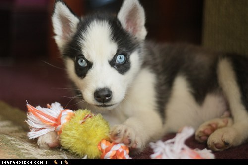 cyoot puppeh ob teh day eyes husky puppy - 5734004224