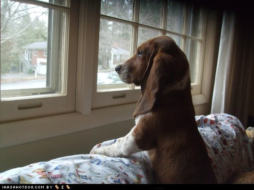 basset hound,cyoot puppeh ob teh day,looking out,where-did-you-go,window