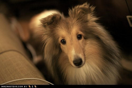 adorable cute cyoot puppeh ob teh day puppy sheltie shetland sheep dog shetland sheepdog sweet face - 5737792512