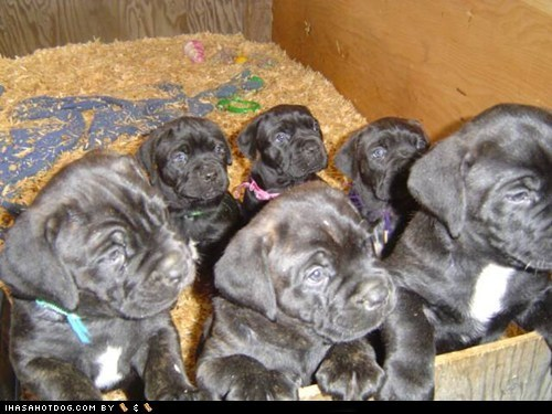 adorable,cane corso,cute,cyoot puppeh ob teh day,let me out,out,puppy,we want out