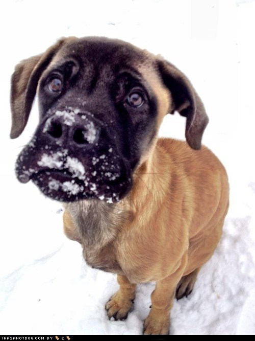 adorable cold cute cyoot puppeh ob teh day lied mastiff outdoors puppy snow winter