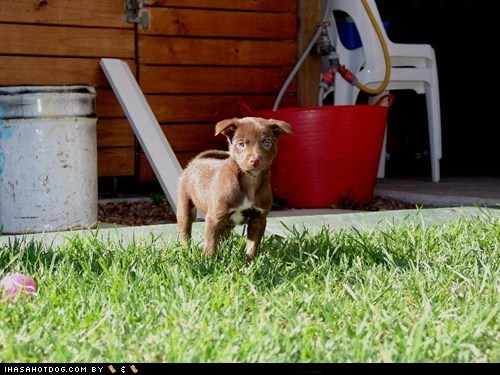 adorable cute cyoot puppeh ob teh day grass outdoors outside puppy whatbreed