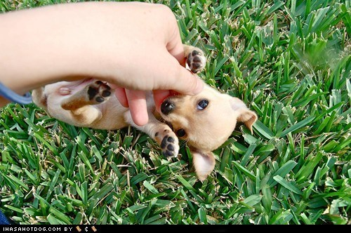 adorable chihuahua cute cyoot puppeh ob teh day grass having fun outdoors play playing puppy - 5737855488