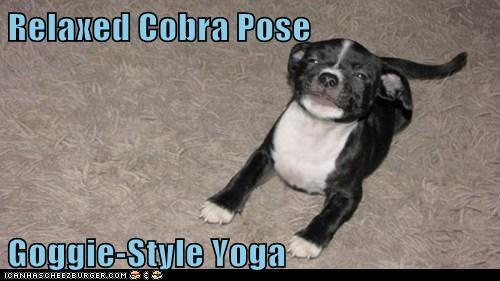 cobra pose pit bull pitbull relax yoga - 5737869056