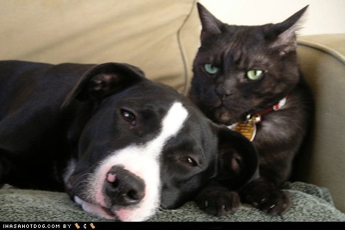 friends,friendship,grumpy,kitteh,kittehs,kittehs r owr friends,pit bull,pitbull