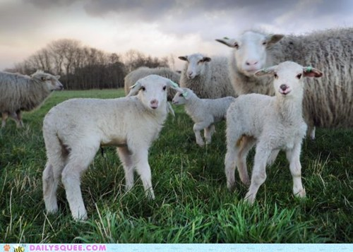 cute dutch dutch lambs family field holland lambs morning sheep squee tags - 5739079936