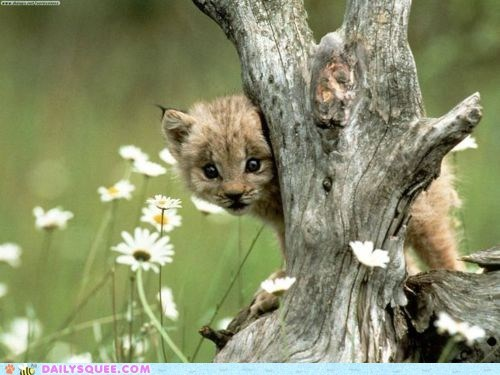 baby cat cougar cub hide n seek hiding lolwut peeking seeking