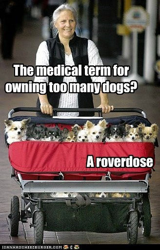 best of the week chihuahua dog overdose Hall of Fame human lots of dog many dogs overdose roverdose whoa - 5740248320