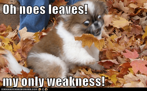 autumn,fall,help,japanese chin,leaves,weakness
