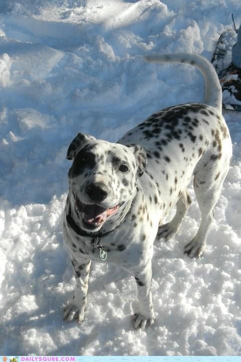 dalmatian happy mixed breed posing reader squees snow - 5741347840