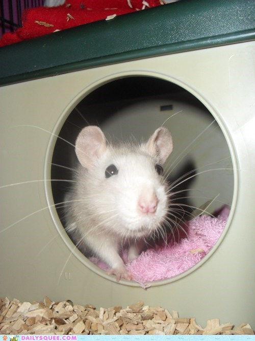 adopted,baby,food,forgivable,hand,nom,nomming,rat,reader squees